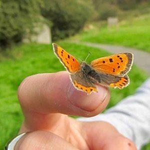 Butterfly wildcraft